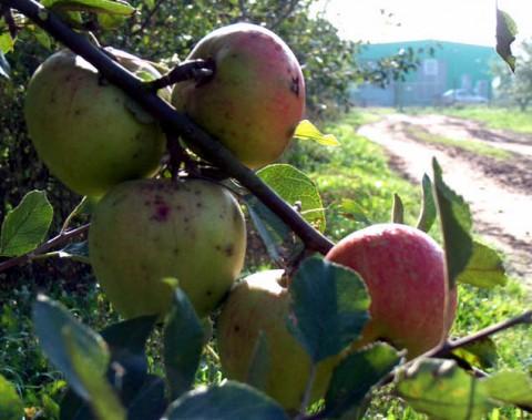 Äpfel aus Kröpelin